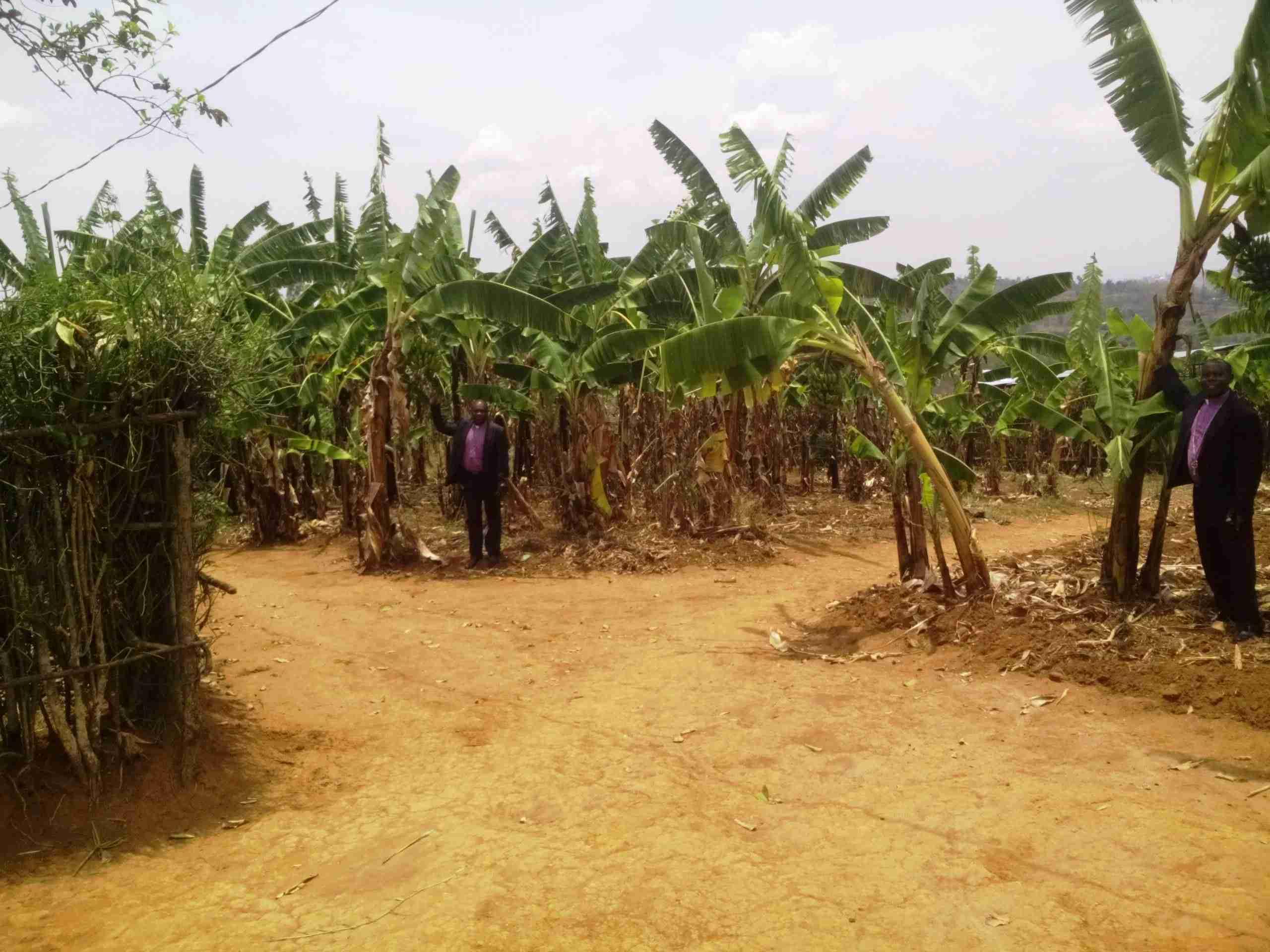 Banana Grove In Rwanda